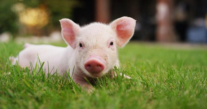 De prijzen voor rundvlees en pluimvee zijn dit jaar gestegen door de Afrikaanse varkensgriepepidemie in China, zo stelt Jupiter Asset Management.